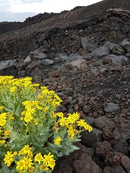 Fiori rocce laviche Etna