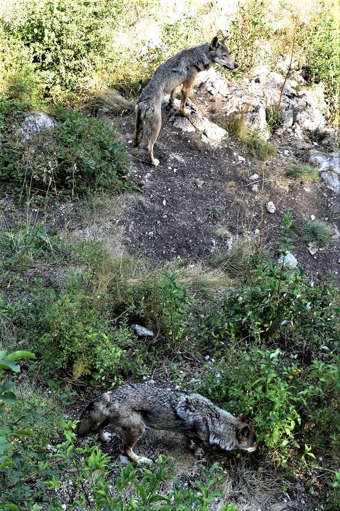 I lupi dell'area faunistica del lupo a Civitella Alfedena